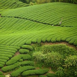 Der Teeanbau und die Teeanbaugebiete