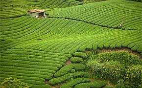 Die Tee-Anbaugebiete und der Tee-Anbau