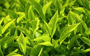 Teeblätter und Teeblüten für hochwertige Sorten
