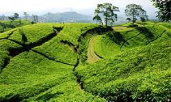 Teeplantagen und Teepflanze