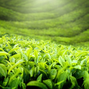 Teepflanze Thea Camellia