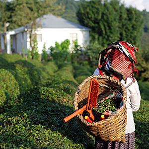 Teeanbau in Mittelasien