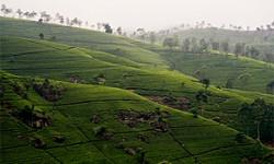 Teeanbau Sri Lanka
