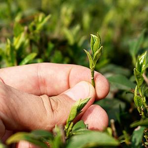 Indische Teeanbaugebiete