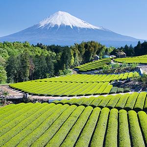 Teeanbau japanischer Tee