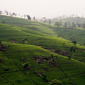 Teeanbau Ceylon