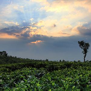 Tee aus Indonesien