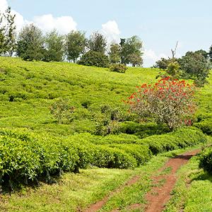 Teeanbau in Afrika