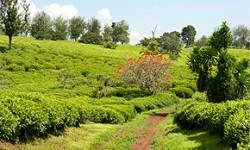 Teeanbaugebiete in Afrika