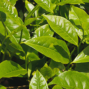 Grüner Tee Teepflanze
