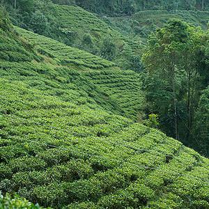 Teeanbau in Indien