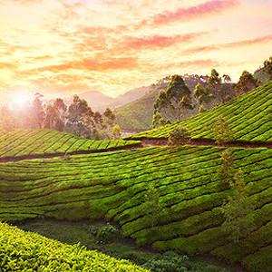 Teereisen durch Indien