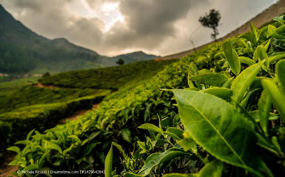 Teeplantage in Indien