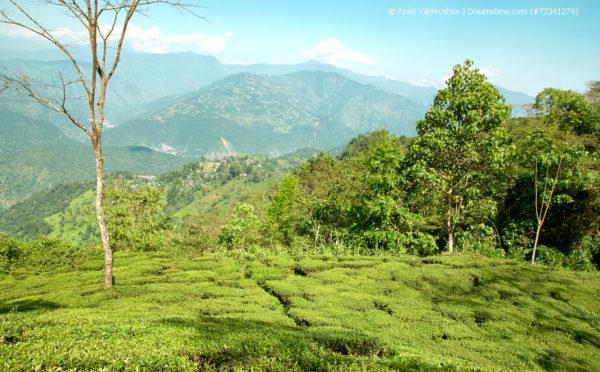 Grüner Darjeeling – gar nicht mal so grün