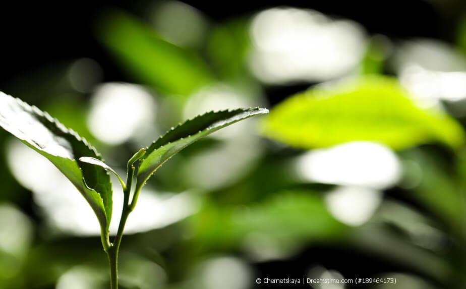 Tee-Blätter für die Tee-Ernte