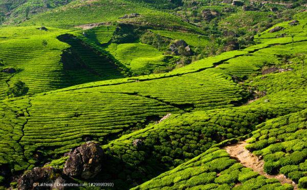 Indien – das Teeanbaugebiet Nummer 1