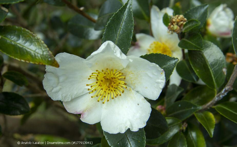 Teepflanze mit Blüten - Thea camellia sinensis