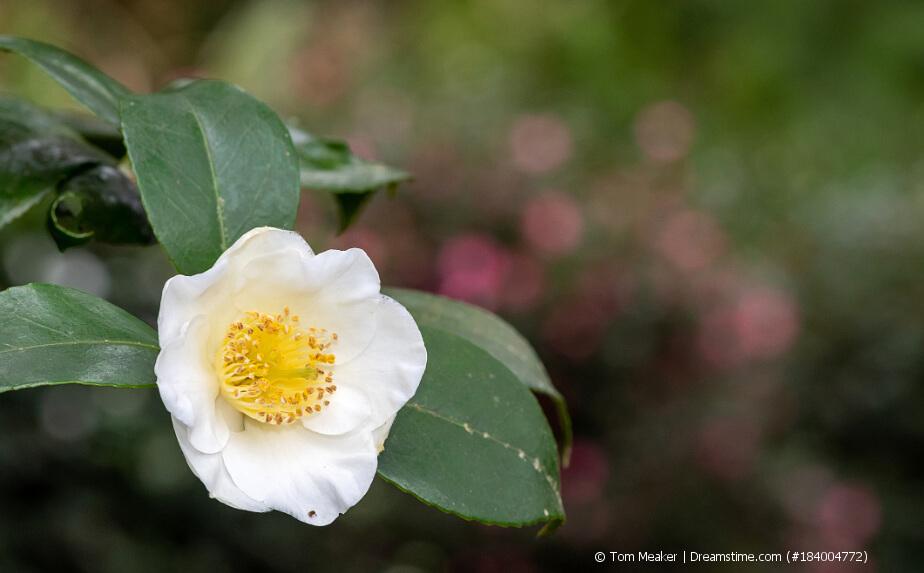 Blühende Teepflanze