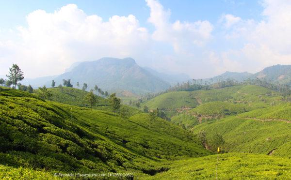 Die Teeplantage – wo die Teepflanze die besten Bedingungen findet