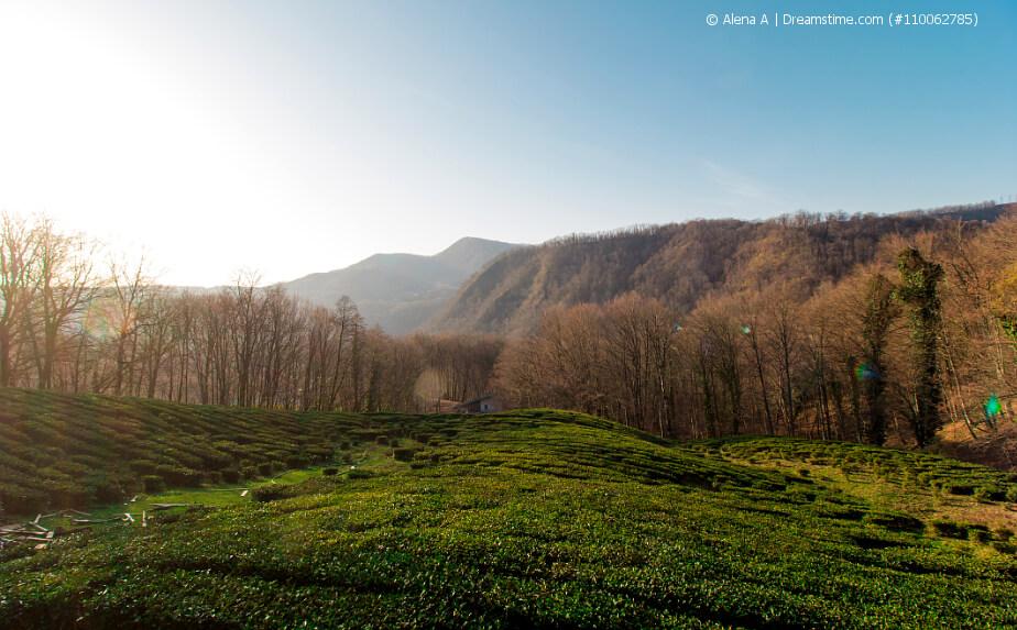 Teeplantage in Russland