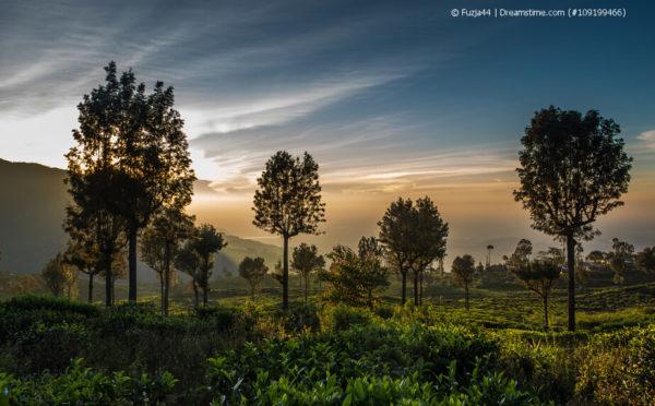 Ceylon – vom Kaffee zum Tee